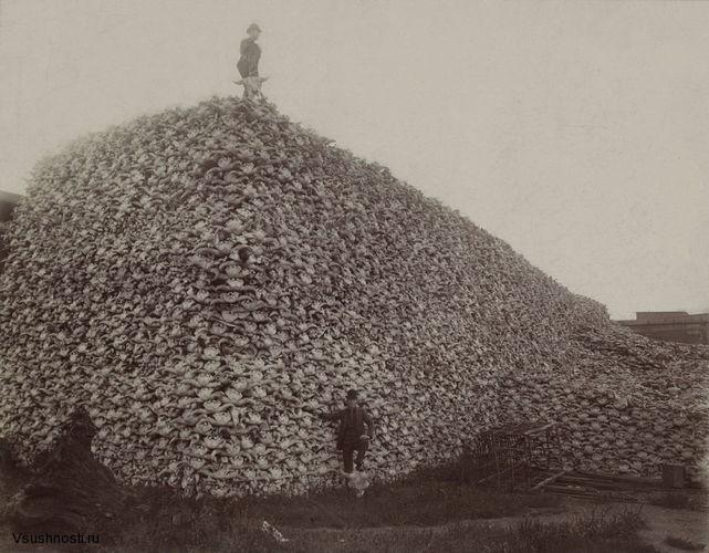 A pile of bison skulls